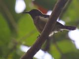 Príncipe Sunbird, Bom Bom Resort, Príncipe