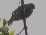 São Tomé Green Pigeon, Roa Bombain, São Tomé
