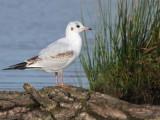 Black-headed Gull, Endrick Mouth-Loch Lomond, Clyde