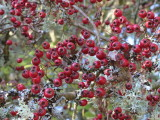 Hawthorn berries, Low Mains-Loch Lomond NNR