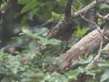 White-crested Tiger Heron, Mpivie River-Loango NP, Gabon