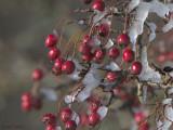 Iced Hawthorn berries, Loch Lomond NNR, Clyde