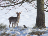 Unidentified Deer species, Loch Lomond NNR, Clyde