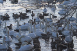 Swans and Geese, Hogganfield Loch, Glasgow