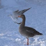 Greylag Goose, Hogganfield Loch, Glasgow