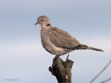 Eurasian Collared Dove, Crail, Fife