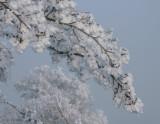Frost encrusted trees, Loch Lomond NNR