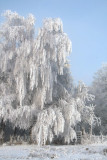 Frost encrusted trees at Lime Hill, Loch Lomond NNR