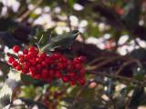 Holly berries, Glen Luss