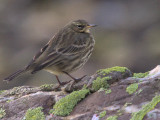 Rock Pipit, Ardmore Point, Clyde