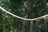 Black Bee-eater, Korup NP, Cameroon