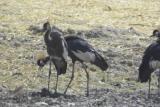 Black Crowned Crane, Waza NP, Cameroon