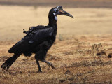 Abyssinian Ground Hornbill, south of Yabello