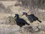 Abyssinian Ground Hornbill, Yabello Ranch