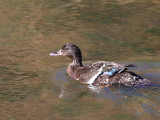 African Black Duck, Simien Mts NP