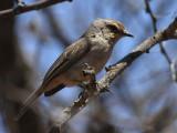 African Grey Flycatcher, near Negele Borena