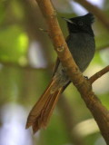 African Paradise Flycatcher (female), Ghion Hotel gardens Addis Ababa