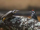 Bearded Woodpecker, Lake Langano