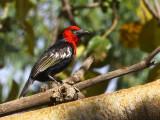 Black-billed Barbet, Axum