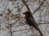 Black-billed Barbet, Bahir Dar