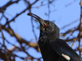 Black-billed Wood-hoopoe, Sof Omar