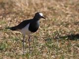Black-winged Lapwing, Sululta Plains