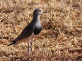 Black-winged Lapwing, Liben Plain