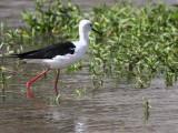 Black-winged Stilt, Lake Ziway