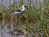 Black-winged Stilt, Lake Awassa
