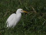 Cattle Egret, Laka Ziway