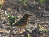 Abyssinian Ground Thrush, Wondo Genet