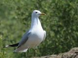 Common Gull, Kilpatrick Hills, Clyde