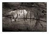 Pine beetle hieroglyphics