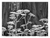 Cow Parsnip and Sequoia