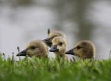 Rainy Goslings
