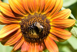 Bees, Sunflowers, and a Llama, Aug 27 09