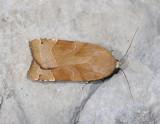 3002   Noctua fimbriata  5037.jpg