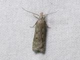 1112   Dichomeris juniperella  5550.jpg
