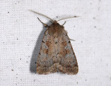 3016   Coenophila subrosea  6102.jpg