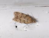 0998   Pseudotelphusa paripunctella  079.jpg