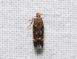1072   Caryocolum fraternella  139.jpg