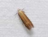 0944   Monochroa cytisella  153.jpg