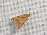 1118   Brachmia blandella  106.jpg