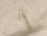 0962   Monochroa niphognatha  038.jpg