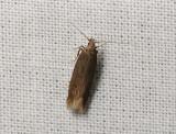 0953   Monochroa lutulentella  041.jpg