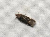 1032   Neofriseria peliella  041.jpg