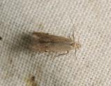 0958   Monochroa arundinetella  173.jpg