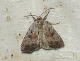 3016   Coenophila subrosea  077.jpg