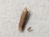 1036   Athrips pruinosella  097.jpg