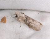 Cuculliinae
